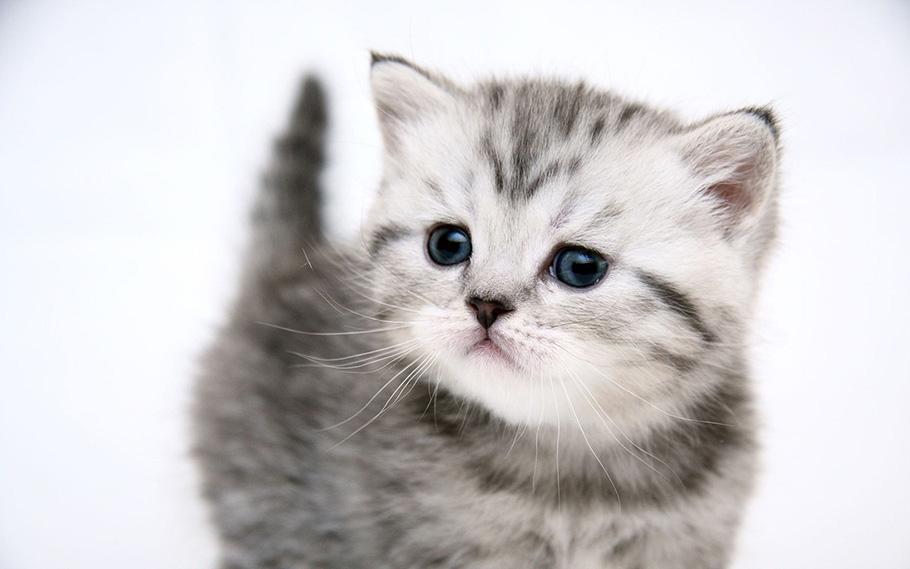 chaton de la victoire